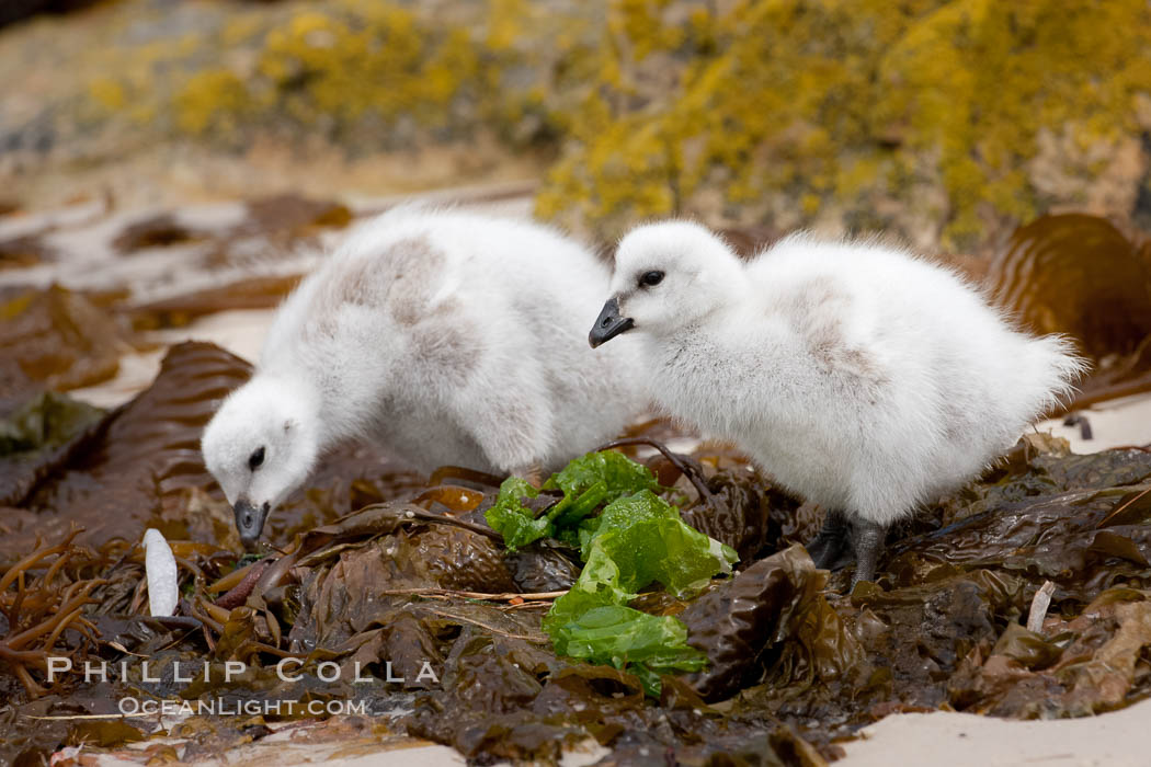 Kelp goose chicks eating kelp (seaweed).  The kelp goose is noted for eating only seaweed, primarily of the genus ulva.  It inhabits rocky coastline habitats where it forages for kelp. New Island, Falkland Islands, United Kingdom, Chloephaga hybrida, Chloephaga hybrida malvinarum, natural history stock photograph, photo id 23754