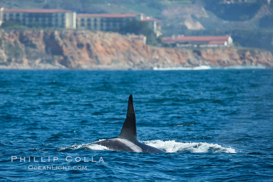 Killer Whale, Biggs Transient Orca, Palos Verdes. Palos Verdes, California, USA, Orcinus orca, natural history stock photograph, photo id 30424