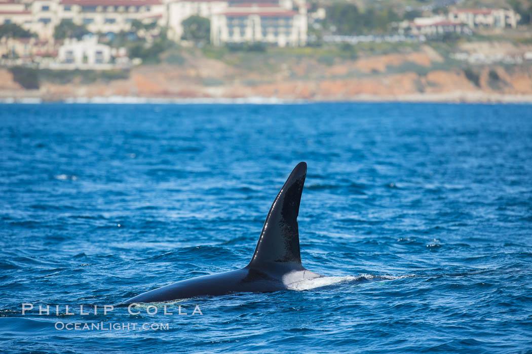 Killer Whale, Biggs Transient Orca, Palos Verdes. Palos Verdes, California, USA, Orcinus orca, natural history stock photograph, photo id 30437