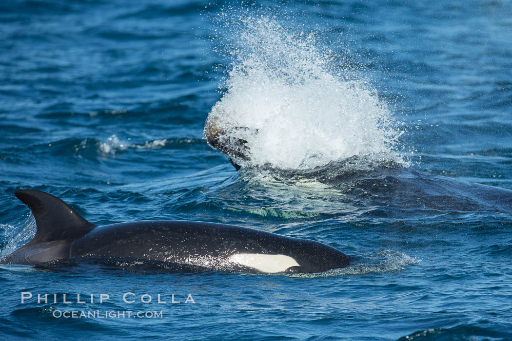 Killer whale attacking sea lion.  Biggs transient orca and California sea lion. Palos Verdes, USA, Orcinus orca, Zalophus californianus, natural history stock photograph, photo id 30432