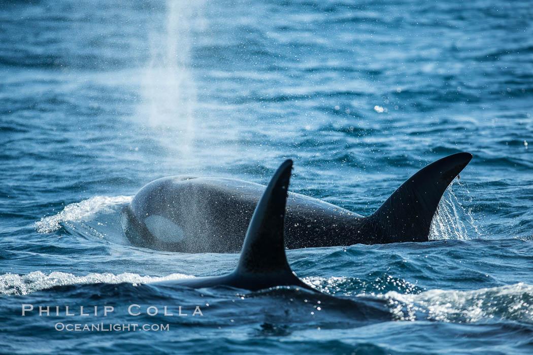 Killer Whales, Biggs Transient Orcas, Palos Verdes. Palos Verdes, California, USA, natural history stock photograph, photo id 30442