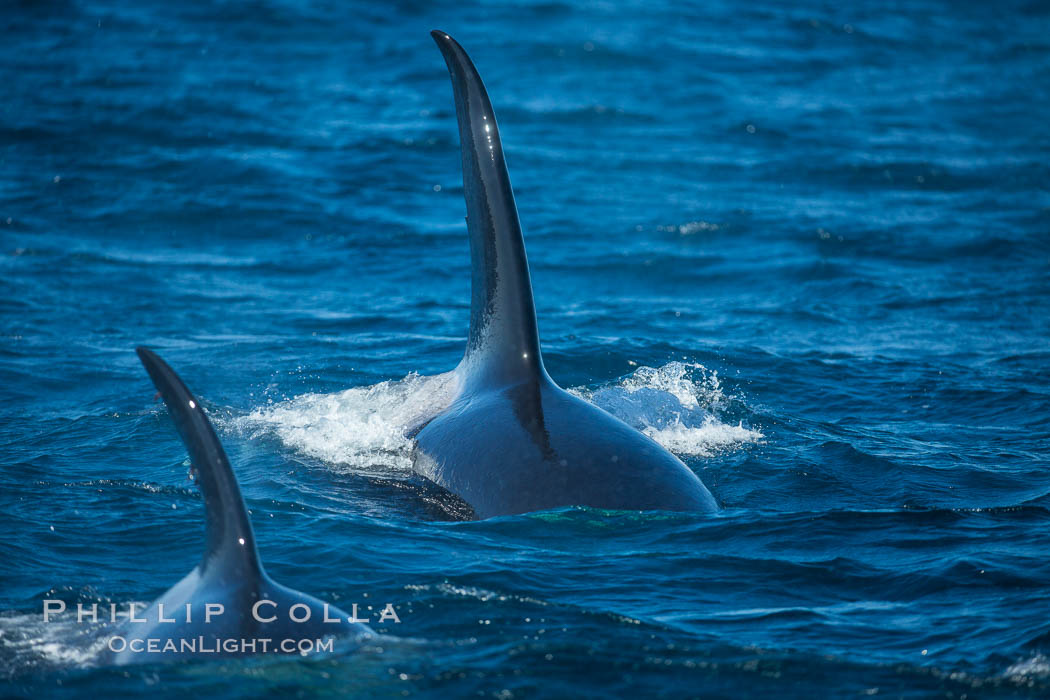 Killer Whales, Biggs Transient Orcas, Palos Verdes. California, USA, natural history stock photograph, photo id 30443