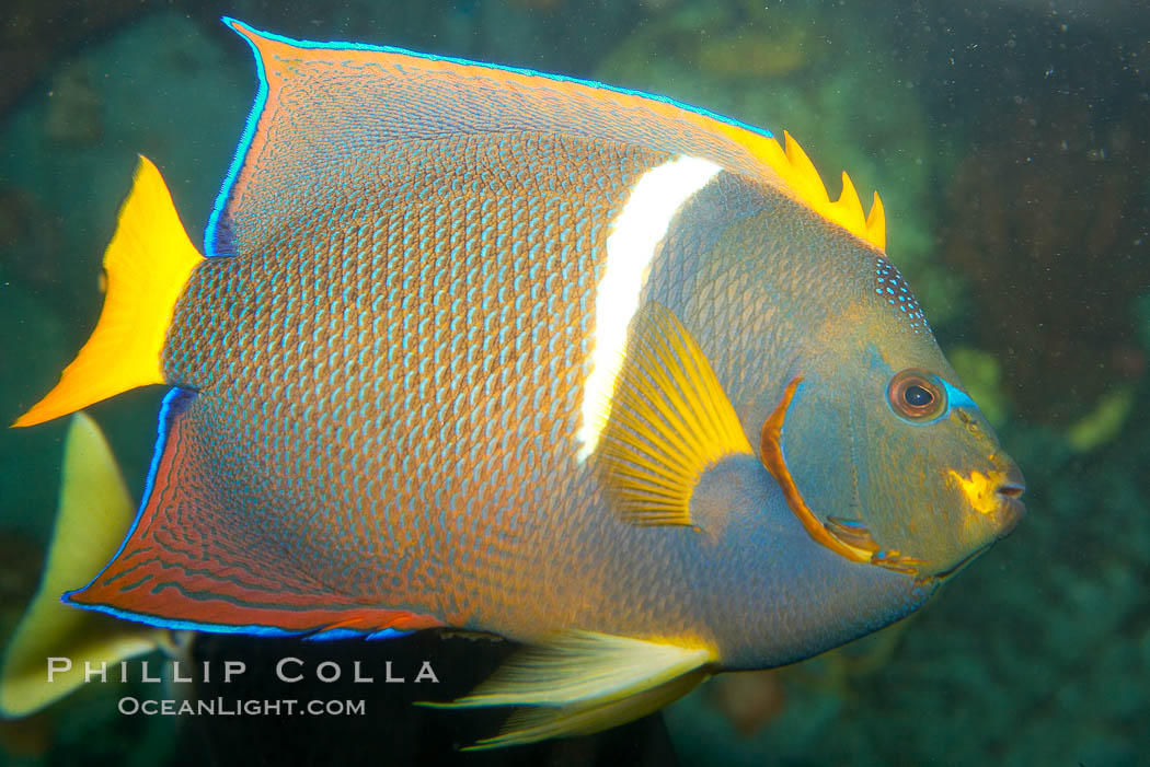 King angelfish., Holacanthus passer, natural history stock photograph, photo id 12893