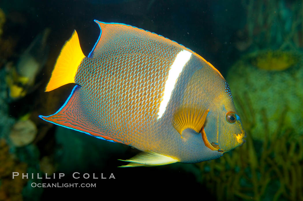 King angelfish., Holacanthus passer, natural history stock photograph, photo id 12889