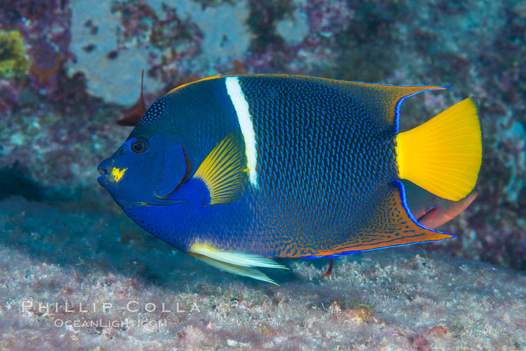 King Angelfish, Sea of Cortez, Baja California. Isla San Diego, Mexico, Holacanthus passer, natural history stock photograph, photo id 33524