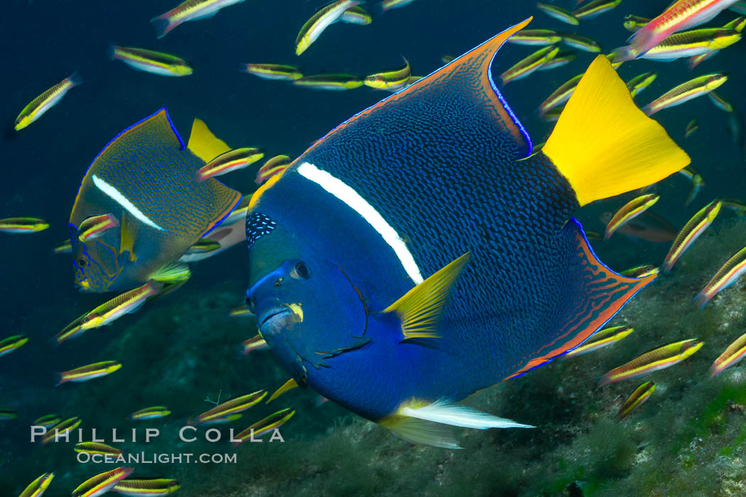King angelfish in the Sea of Cortez, Mexico. Baja California, Holacanthus passer, natural history stock photograph, photo id 27470