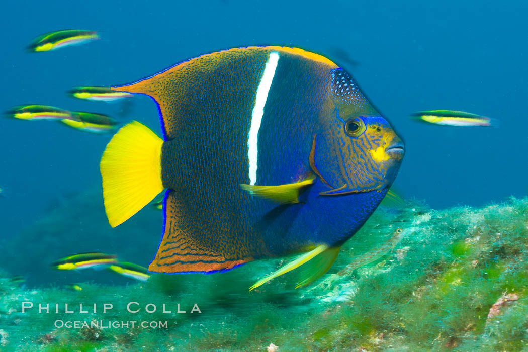 King angelfish in the Sea of Cortez, Mexico. Baja California, Holacanthus passer, natural history stock photograph, photo id 27474