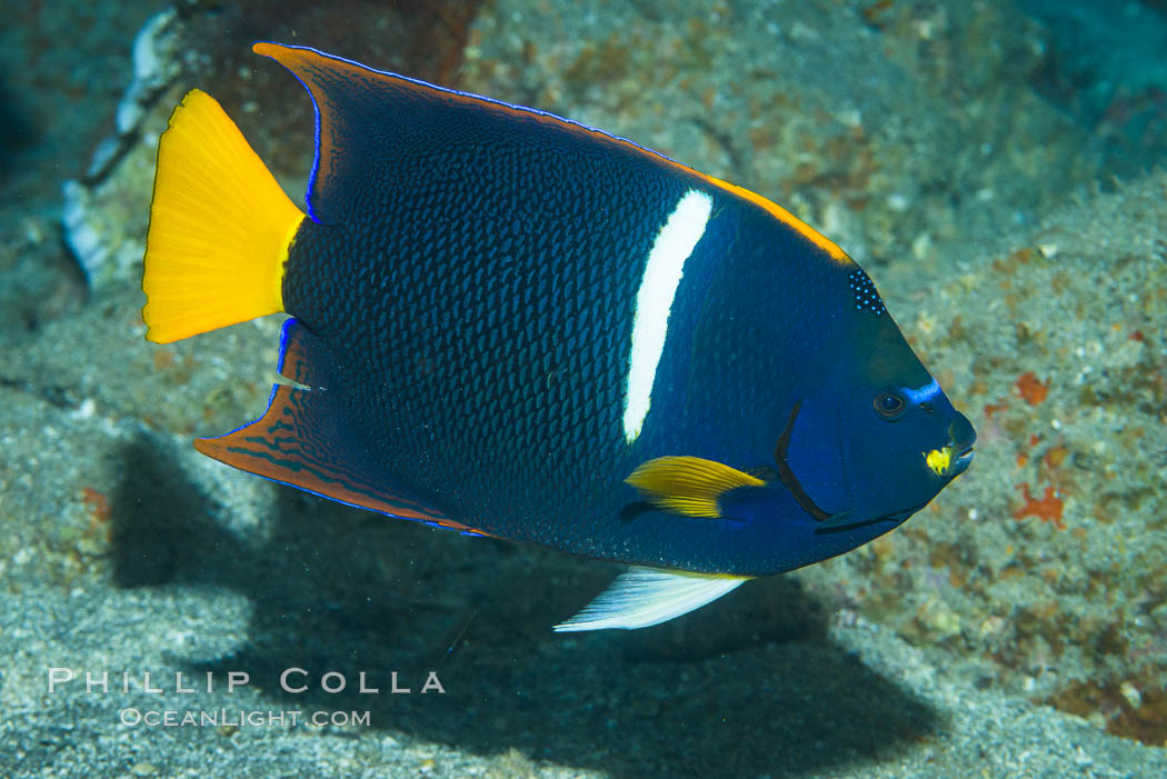 Image 33726, King Angelfish, Sea of Cortez, Punta Alta, Baja California, Mexico