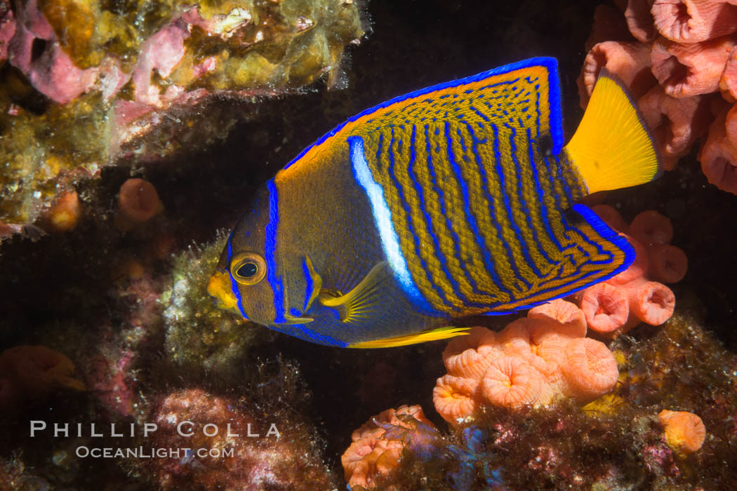 King Angelfish, Sea of Cortez, Isla Las Animas, Baja California, Mexico, Holacanthus passer, natural history stock photograph, photo id 33683