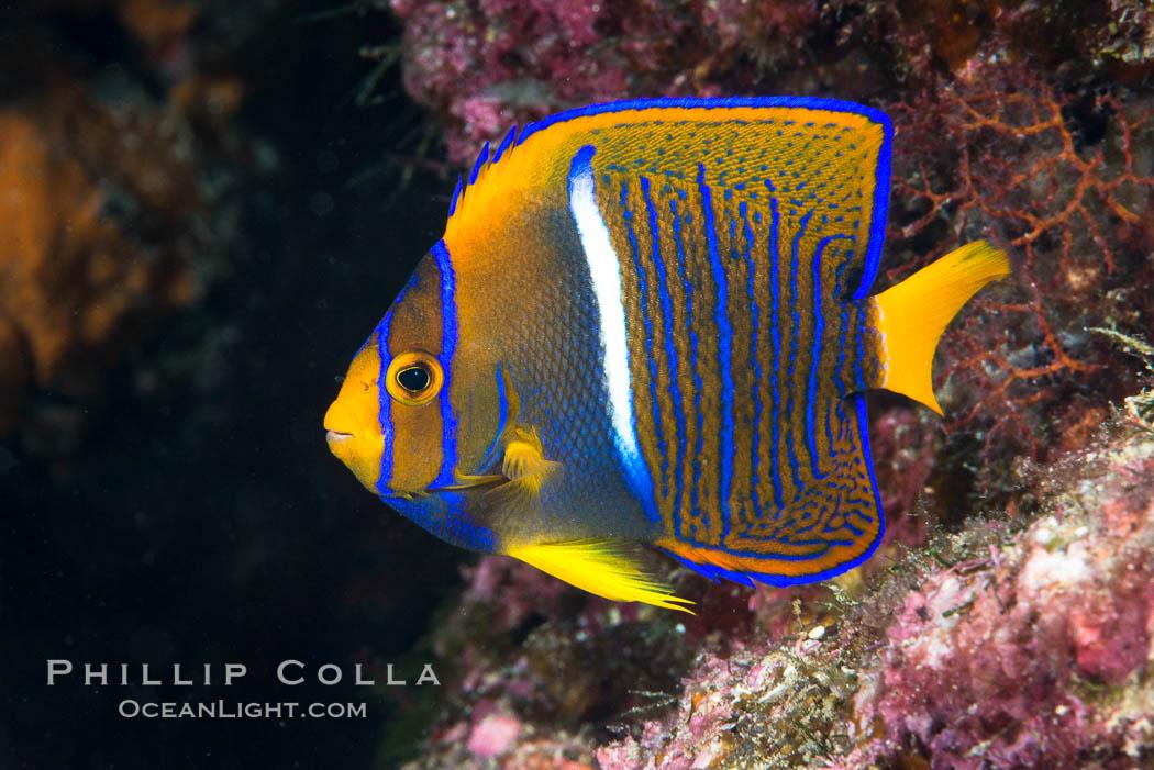 King Angelfish, Sea of Cortez, Baja California, Mexico, natural history stock photograph, photo id 33605