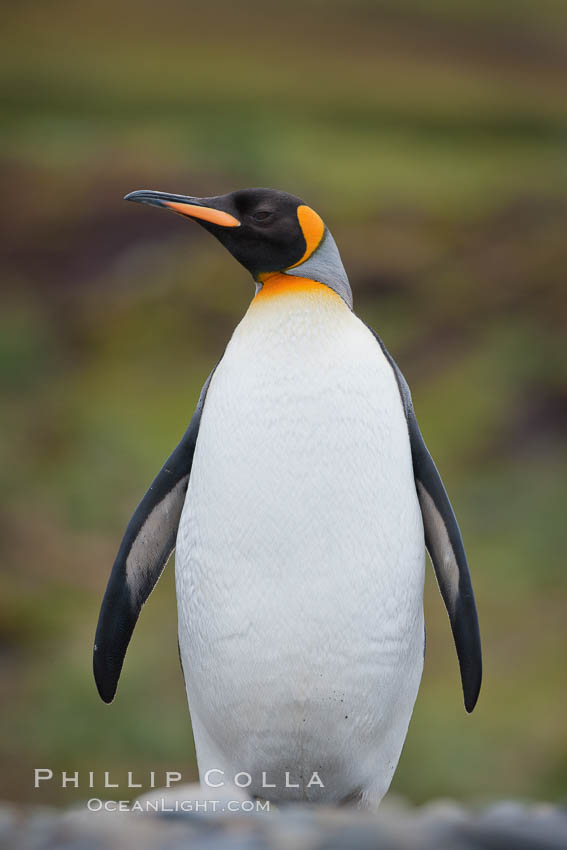 King penguin, solitary, standing. Fortuna Bay, South Georgia Island, Aptenodytes patagonicus, natural history stock photograph, photo id 24602