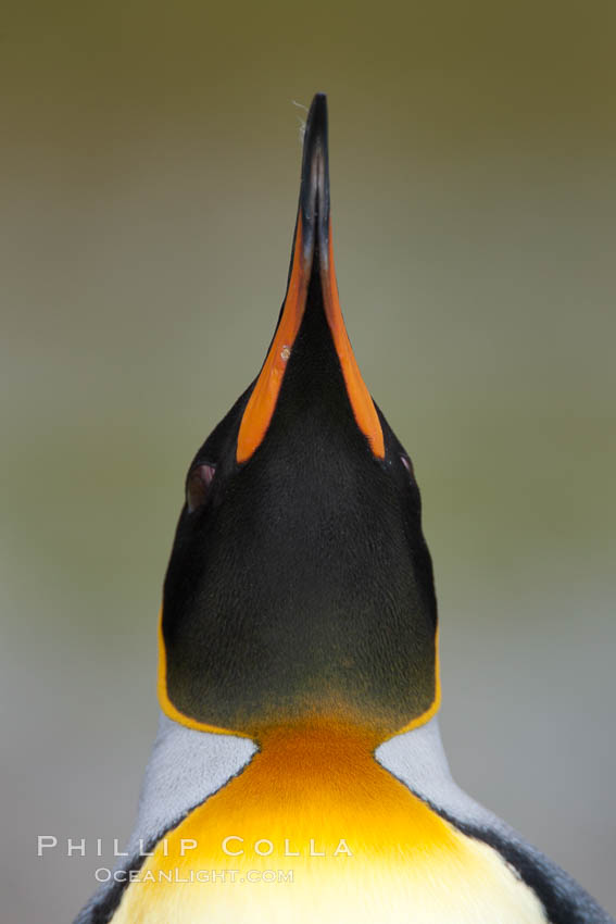 King penguin, showing ornate and distinctive neck, breast and head plumage and orange beak. Fortuna Bay, South Georgia Island, Aptenodytes patagonicus, natural history stock photograph, photo id 24601