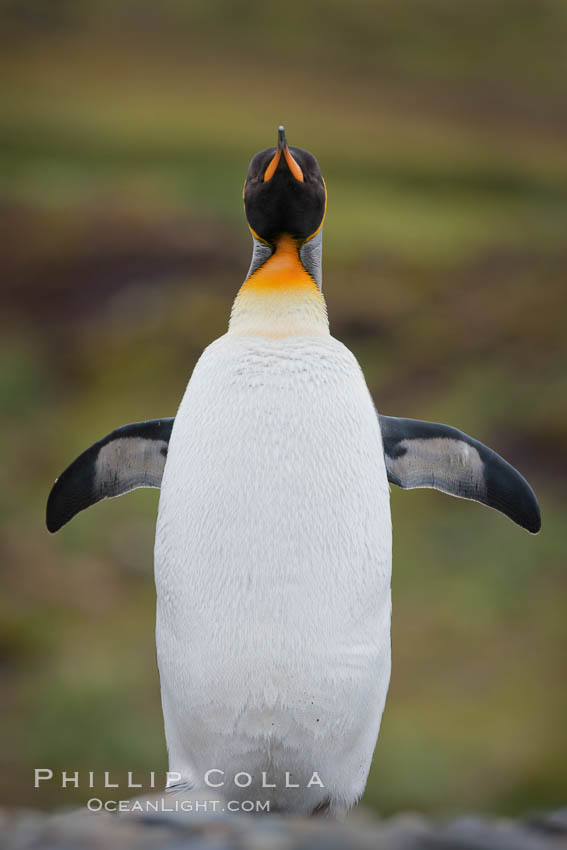 King penguin, solitary, standing. Fortuna Bay, South Georgia Island, Aptenodytes patagonicus, natural history stock photograph, photo id 24621