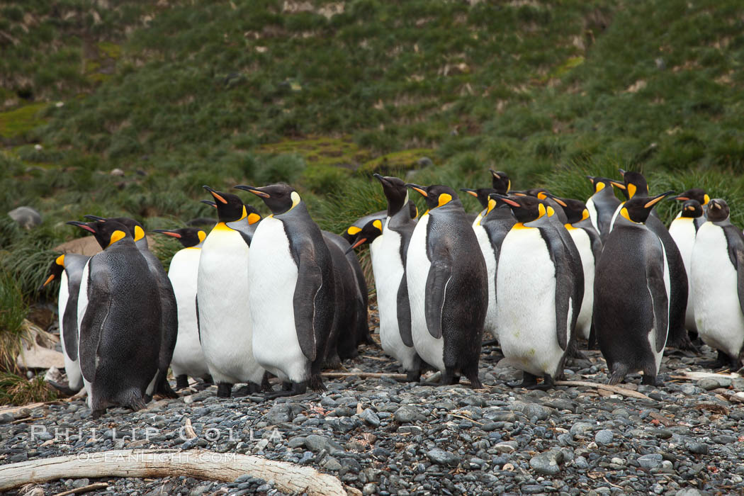 King penguins and whale bones, on the cobblestone beach at Godthul, South Georgia Island.  The whale bones are evidence of South Georgia's long and prolific history of whaling., Aptenodytes patagonicus, natural history stock photograph, photo id 24726