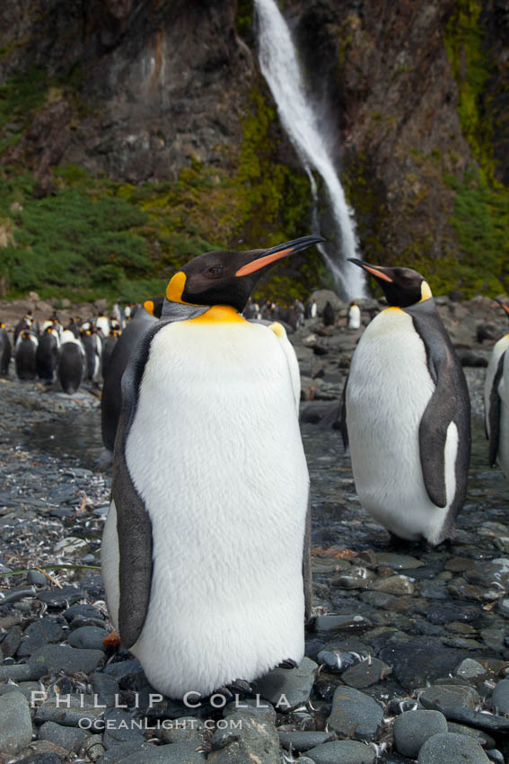 King penguins gather in a steam to molt, below a waterfall on a cobblestone beach at Hercules Bay. Hercules Bay, South Georgia Island, Aptenodytes patagonicus, natural history stock photograph, photo id 24384
