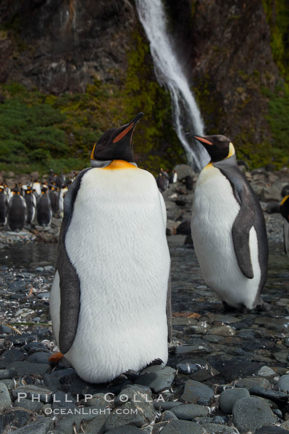 King penguins gather in a steam to molt, below a waterfall on a cobblestone beach at Hercules Bay. South Georgia Island, Aptenodytes patagonicus, natural history stock photograph, photo id 24472