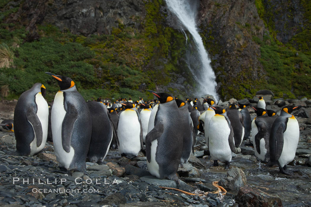King penguins gather in a steam to molt, below a waterfall on a cobblestone beach at Hercules Bay. South Georgia Island, Aptenodytes patagonicus, natural history stock photograph, photo id 24560