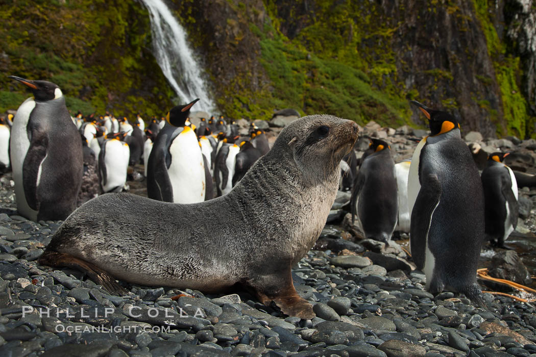 Antarctic fur seal pup in front of a group of molting king penguins, below a waterfall on the cobblestone beach at Hercules Bay. South Georgia Island, Aptenodytes patagonicus, natural history stock photograph, photo id 24561
