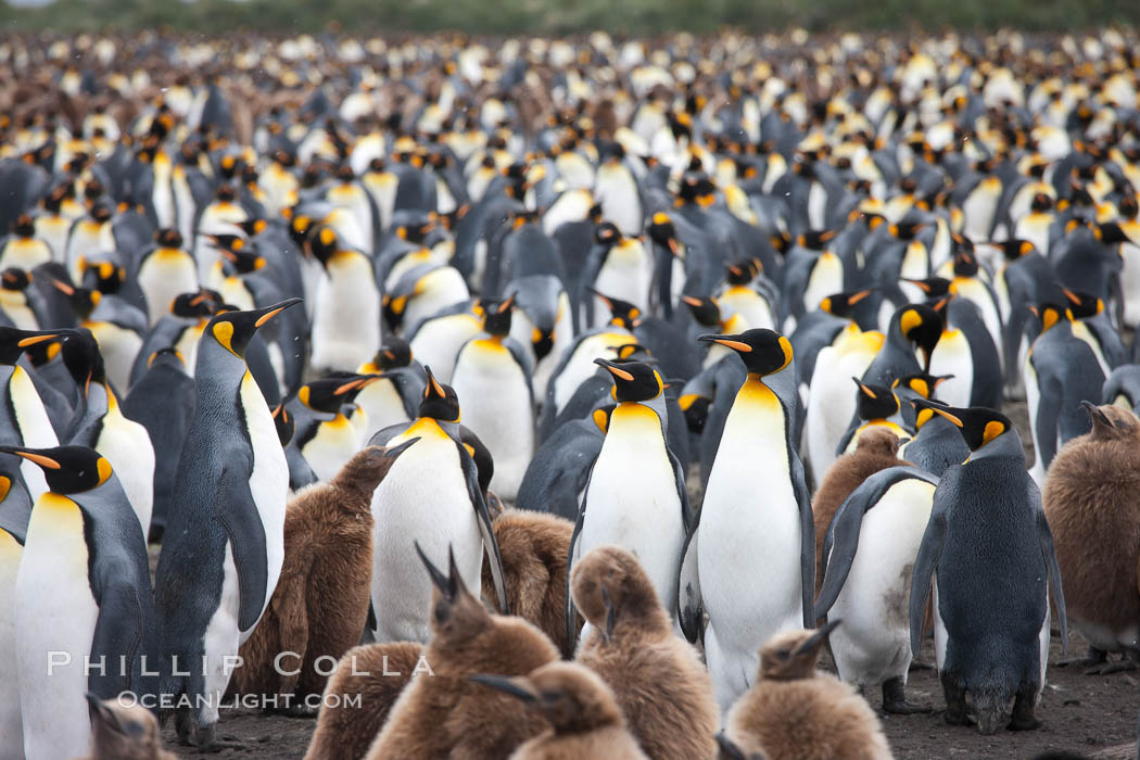King penguins at Salisbury Plain.  Silver and black penguins are adults, while brown penguins are 'oakum boys', juveniles named for their distinctive fluffy plumage that will soon molt and taken on adult coloration. South Georgia Island, Aptenodytes patagonicus, natural history stock photograph, photo id 24506