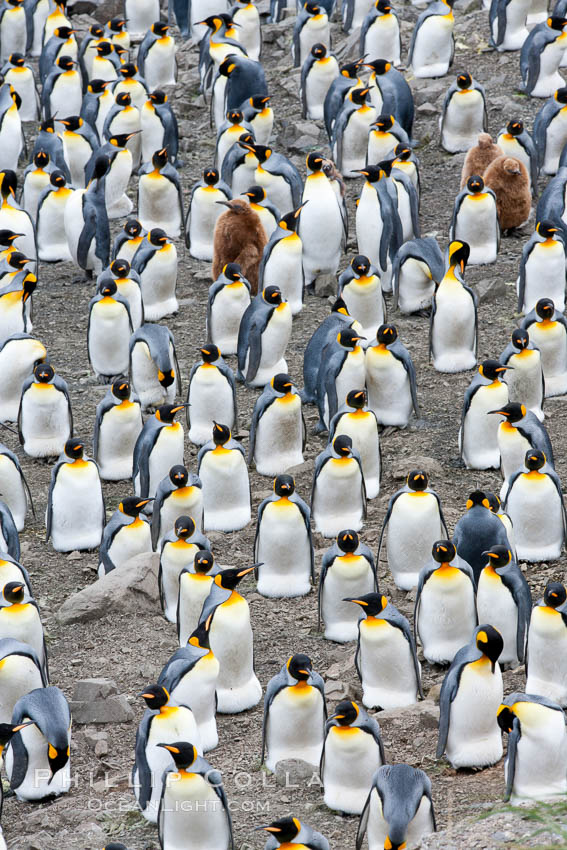 King penguin colony. Over 100,000 pairs of king penguins nest at Salisbury Plain, laying eggs in December and February, then alternating roles between foraging for food and caring for the egg or chick. South Georgia Island, Aptenodytes patagonicus, natural history stock photograph, photo id 24508