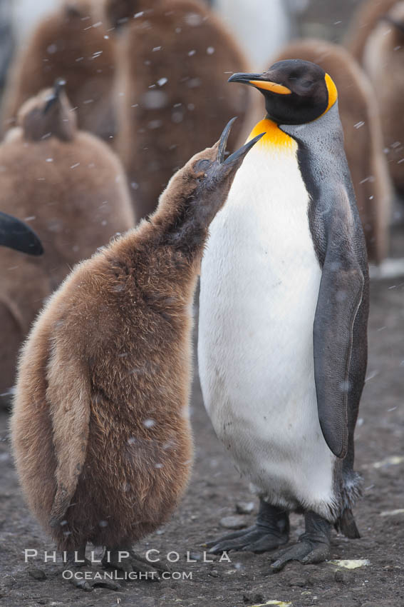 Juvenile 'oakum boy' penguin begs for food, which the adult will regurgitate from its stomach after foraging at sea.  This scene plays out thousands of times each hour amid the vast king penguin colony at Salisbury Plain, where over 100,000 pairs of king penguins nest and rear their chicks. South Georgia Island, Aptenodytes patagonicus, natural history stock photograph, photo id 24499