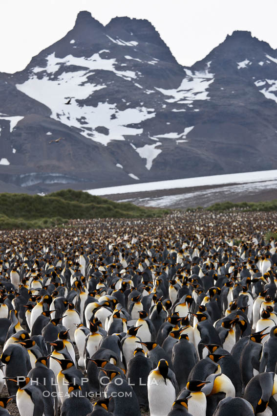 King penguin colony at Salisbury Plain, Bay of Isles, South Georgia Island.  Over 100,000 pairs of king penguins nest here, laying eggs in December and February, then alternating roles between foraging for food and caring for the egg or chick., Aptenodytes patagonicus, natural history stock photograph, photo id 24410