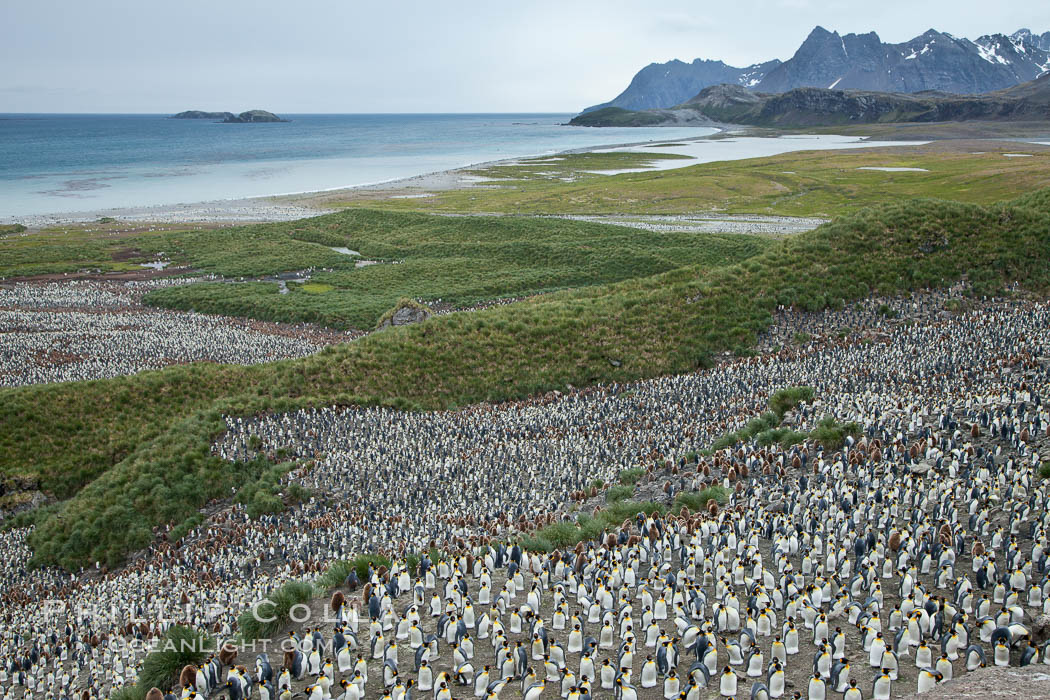 King penguin colony and the Bay of Isles on the northern coast of South Georgia Island.  Over 100,000 nesting pairs of king penguins reside here.  Dark patches in the colony are groups of juveniles with fluffy brown plumage. Salisbury Plain, Aptenodytes patagonicus, natural history stock photograph, photo id 24403