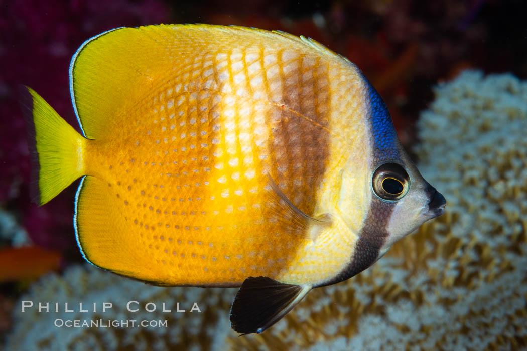 Kleins Butterflyfish, Chaetodon kleinii, Fiji. Fiji, Chaetodon kleinii, natural history stock photograph, photo id 34811