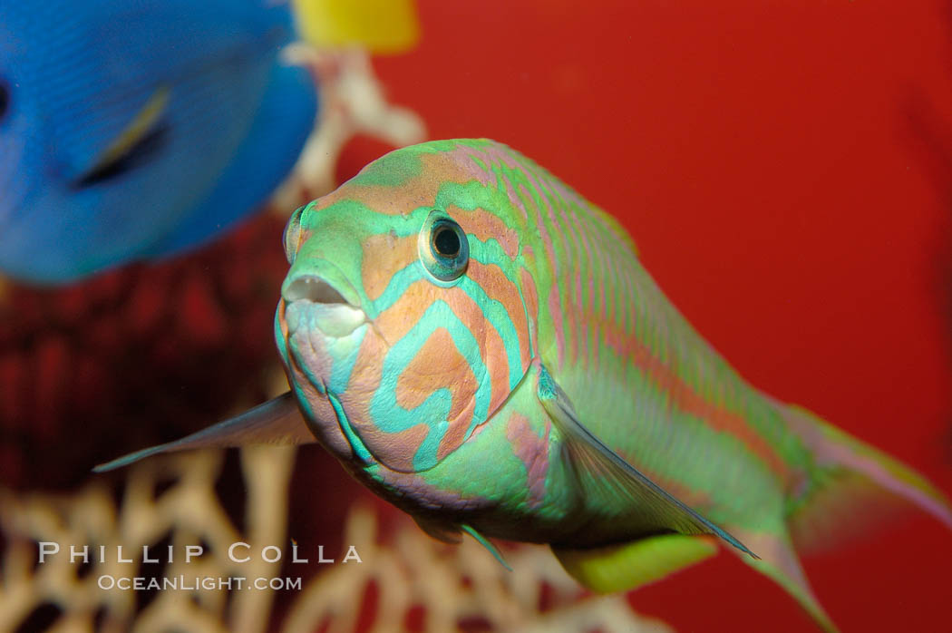 Klunzingers wrasse., Thalassoma rueppellii, natural history stock photograph, photo id 09352