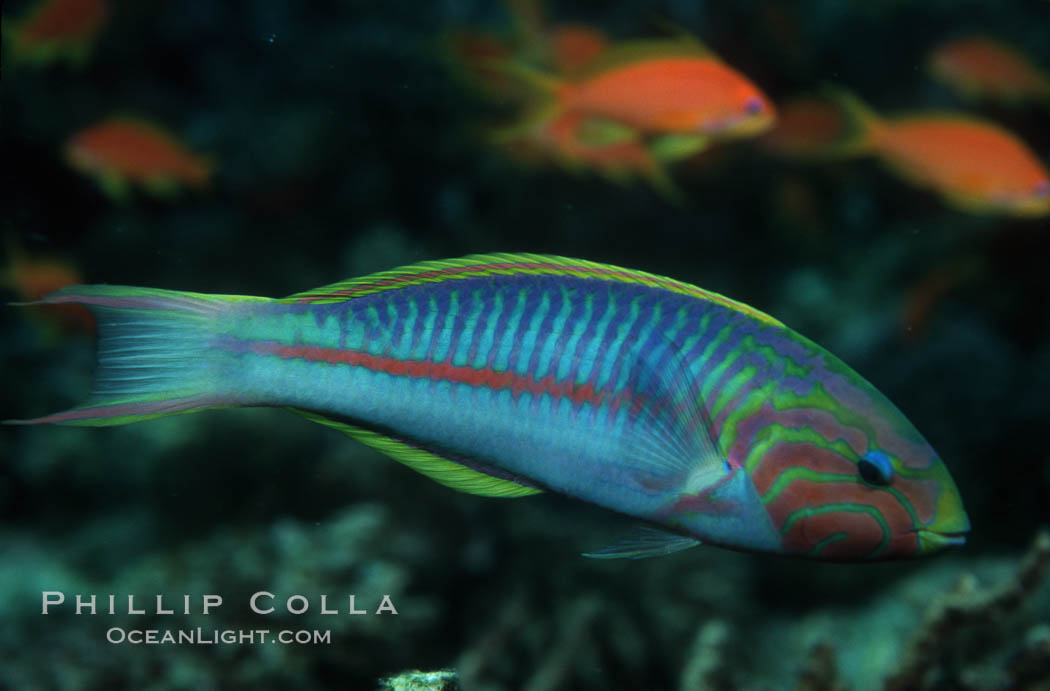 Klunzingers Wrasse, northern Red Sea. Egyptian Red Sea, Egypt, Thalassoma rueppellii, natural history stock photograph, photo id 07093