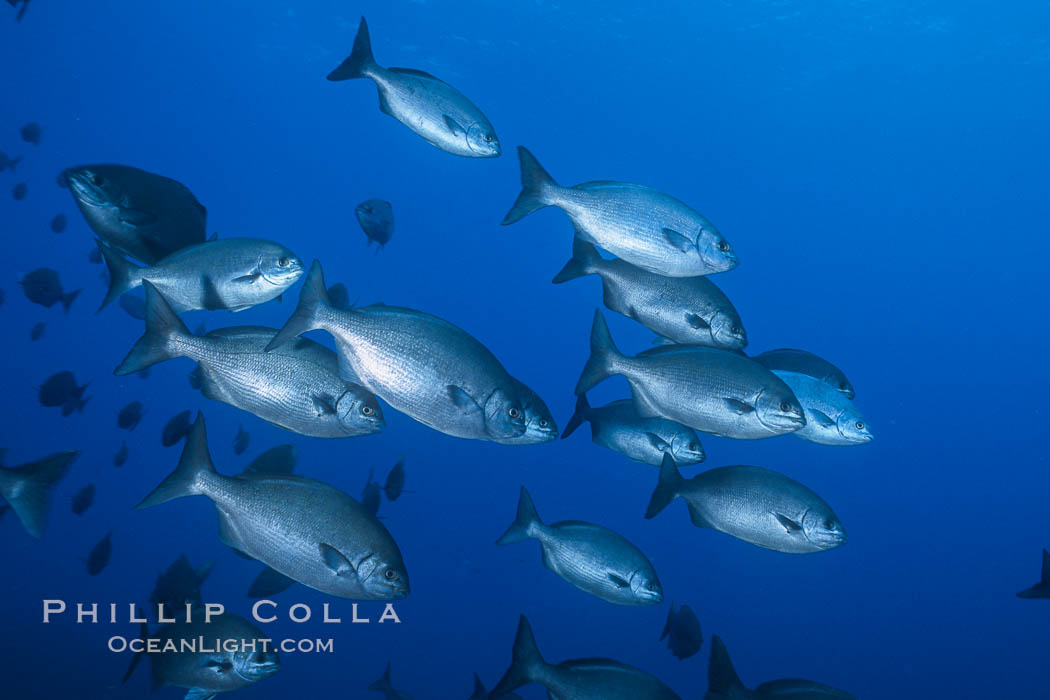 Cortez chubb. Guadalupe Island (Isla Guadalupe), Baja California, Mexico, Kyphosus elegans, natural history stock photograph, photo id 06184