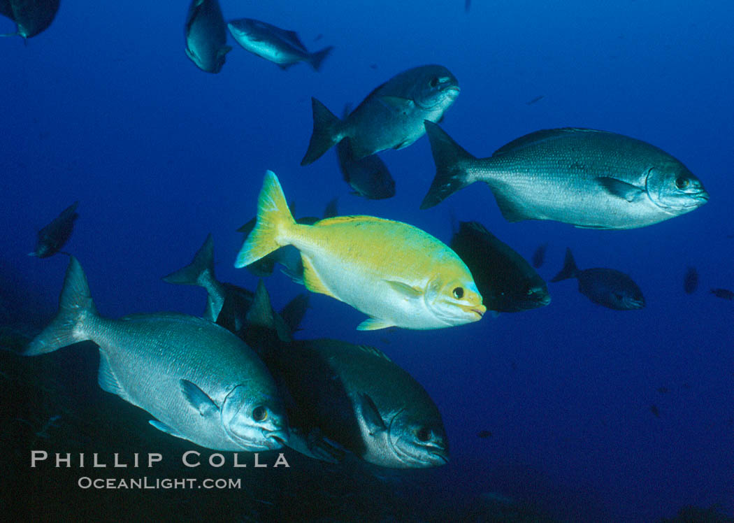 Cortez chubb showing golden phase mating male. Guadalupe Island (Isla Guadalupe), Baja California, Mexico, Kyphosus elegans, natural history stock photograph, photo id 06852
