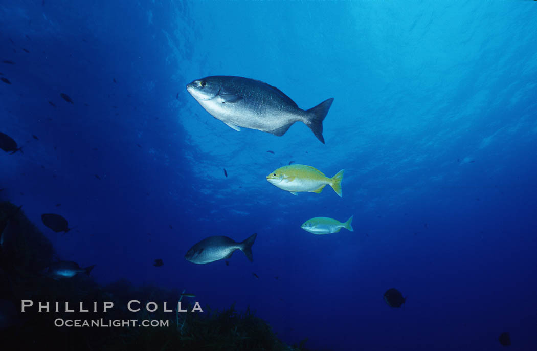Cortez chubb including golden phase. Guadalupe Island (Isla Guadalupe), Baja California, Mexico, Kyphosus elegans, natural history stock photograph, photo id 06181