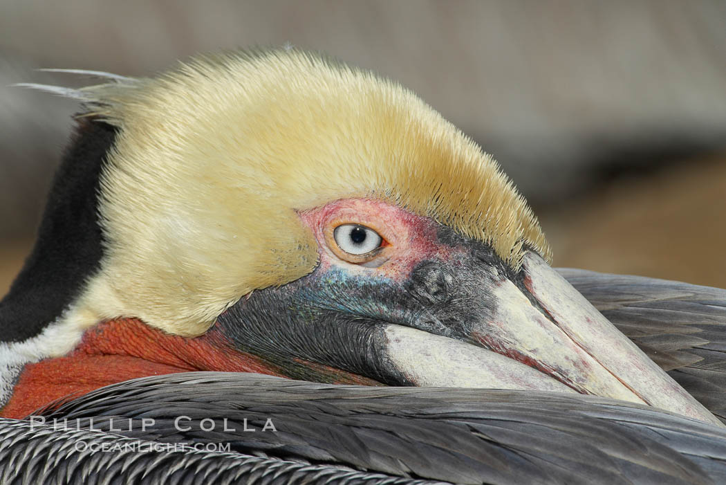 Image 20154, Brown pelican closeup showing characteristic winter mating plumage, including yellow head, dark brown nape of neck and red gular throat pouch. La Jolla, California, USA, Pelecanus occidentalis, Pelecanus occidentalis californicus