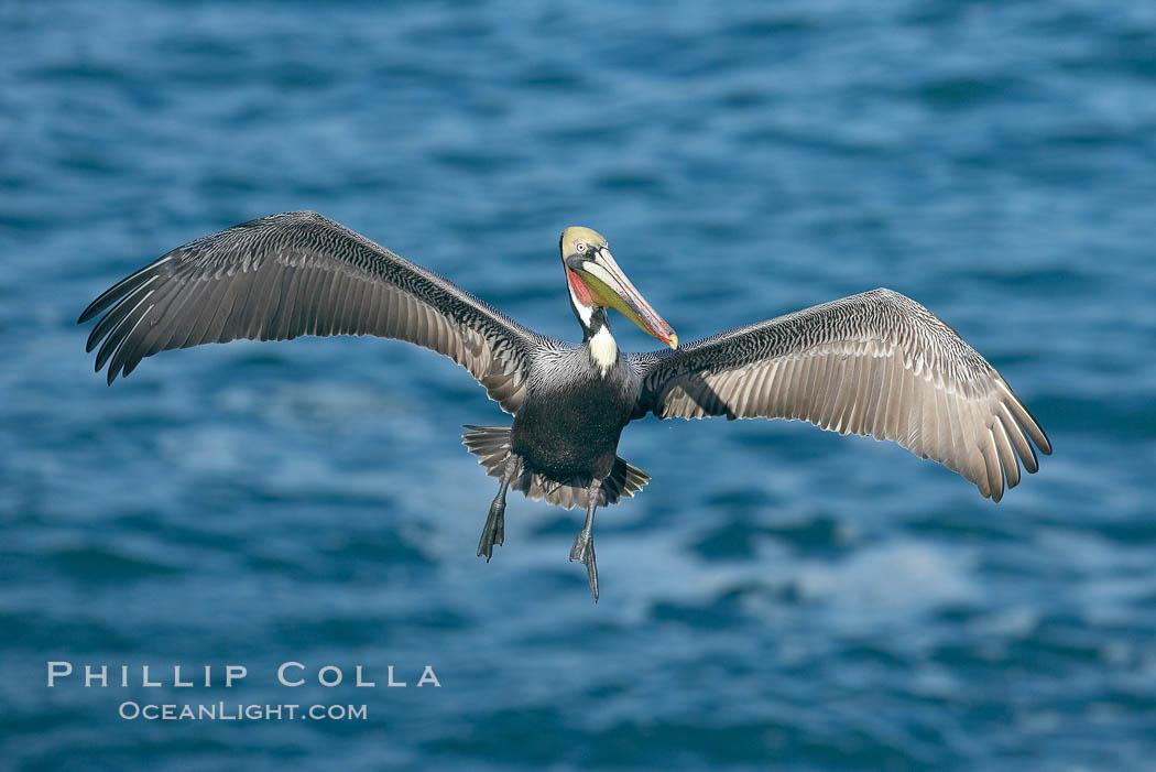 Brown pelican spreads its huge wings to slow before landing on seaside cliffs. La Jolla, California, USA, Pelecanus occidentalis, Pelecanus occidentalis californicus, natural history stock photograph, photo id 20156