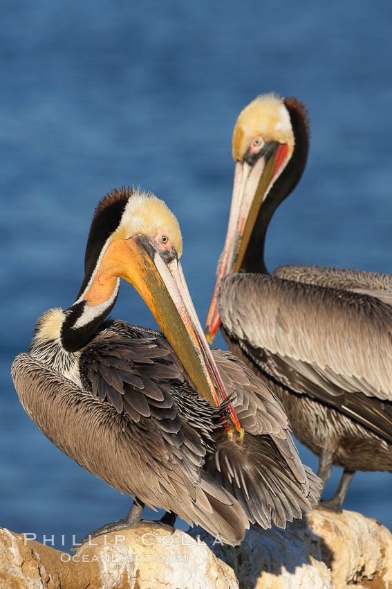 Image 18132, A brown pelican preening, reaching with its beak to the uropygial gland (preen gland) near the base of its tail.  Preen oil from the uropygial gland is spread by the pelican's beak and back of its head to all other feathers on the pelican, helping to keep them water resistant and dry. La Jolla, California, USA, Pelecanus occidentalis, Pelecanus occidentalis californicus, Phillip Colla, all rights reserved worldwide. Keywords: animal, animalia, aves, bird, brown pelican, california, california brown pelican, chordata, endangered, endangered threatened species, la jolla, la jolla pelicans, occidentalis, pelecanidae, pelecaniform, pelecaniformes, pelecanus, pelecanus occidentalis, pelecanus occidentalis californicus, pelican, preen, preen gland, preen oil, preening, san diego, seabird, seabird anatomy, seabird behavior, threatened, uropygial gland, usa, vertebrata, vertebrate.