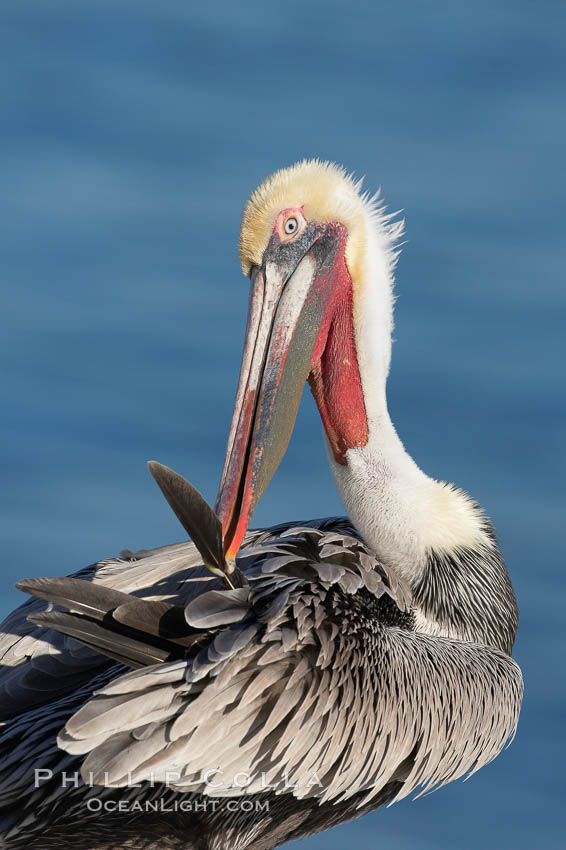 A brown pelican preening, reaching with its beak to the uropygial gland (preen gland) near the base of its tail.  Preen oil from the uropygial gland is spread by the pelican's beak and back of its head to all other feathers on the pelican, helping to keep them water resistant and dry.  Adult winter non-breeding plumage showing white hindneck and red gular throat pouch. La Jolla, California, USA, Pelecanus occidentalis, Pelecanus occidentalis californicus, natural history stock photograph, photo id 18209