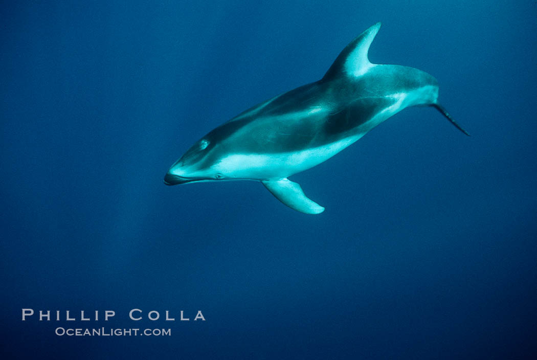 Pacific white sided dolphin. San Diego, California, USA, Lagenorhynchus obliquidens, natural history stock photograph, photo id 00034