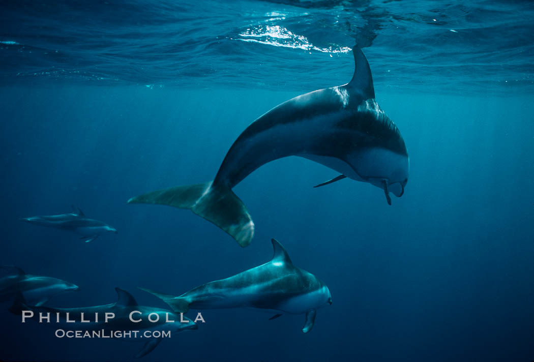 Pacific white sided dolphin. San Diego, California, USA, Lagenorhynchus obliquidens, natural history stock photograph, photo id 00036