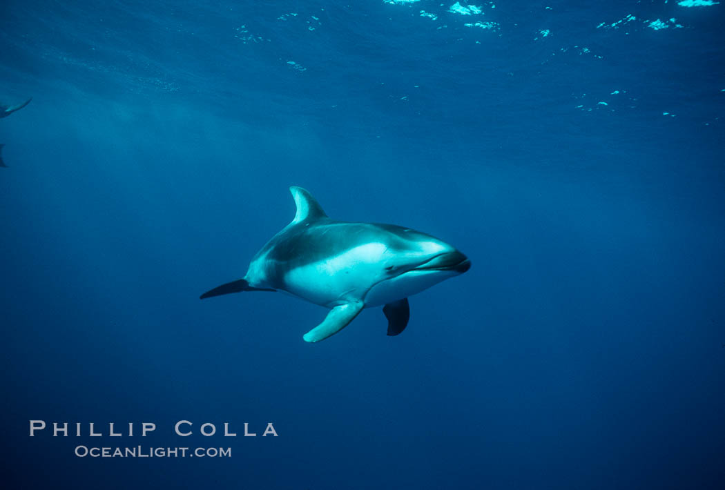 Pacific white sided dolphin. San Diego, California, USA, Lagenorhynchus obliquidens, natural history stock photograph, photo id 00041
