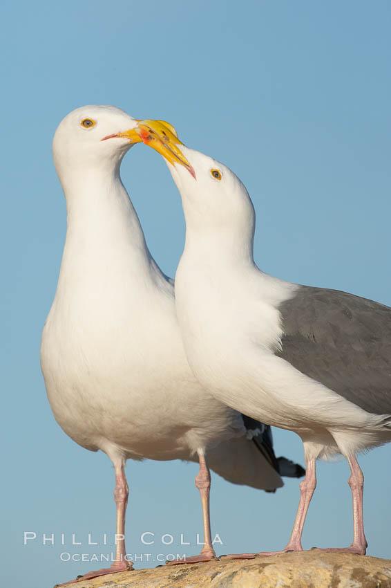 Western gulls, courtship behaviour. La Jolla, California, USA, Larus occidentalis, natural history stock photograph, photo id 18414