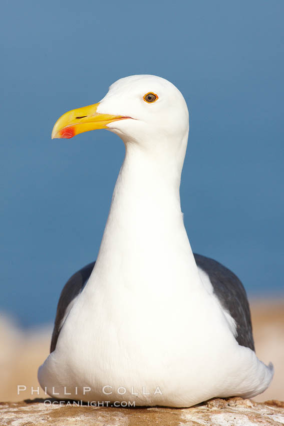 Western gull portrait. La Jolla, California, USA, Larus occidentalis, natural history stock photograph, photo id 22542