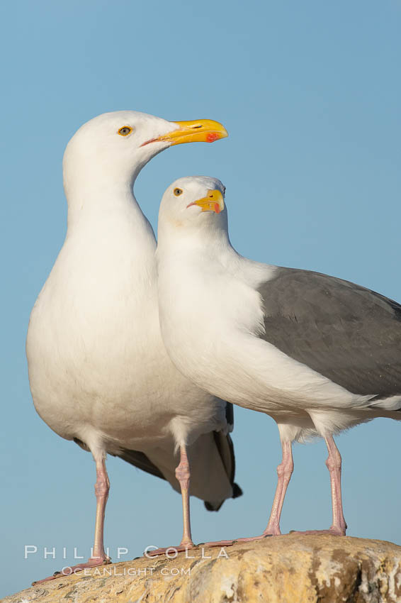 Western gulls, courtship behaviour. La Jolla, California, USA, Larus occidentalis, natural history stock photograph, photo id 18411