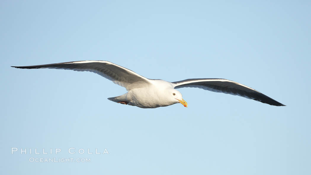 Western gull, flying. La Jolla, California, USA, Larus occidentalis, natural history stock photograph, photo id 22173