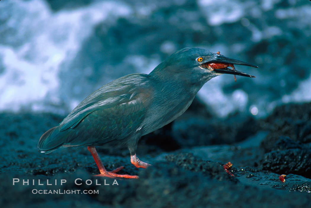 Lava heron captures Sally lightfoot crab at oceans edge. Galapagos Islands, Ecuador, Butorides sundevalli, natural history stock photograph, photo id 02276