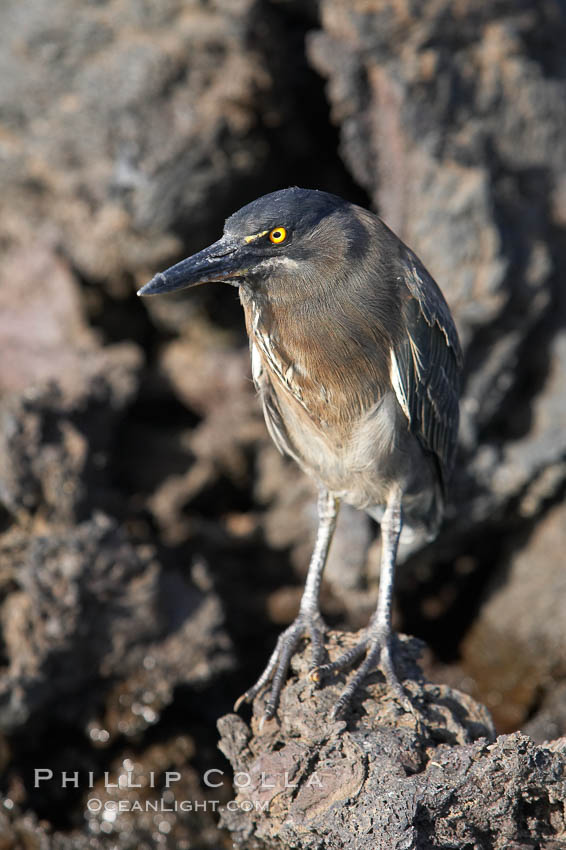 Image 16587, Lava heron on volcanic rocks at the oceans edge, Punta Albemarle. Isabella Island, Galapagos Islands, Ecuador, Butorides sundevalli, Phillip Colla, all rights reserved worldwide. Keywords: above water, animal, animalia, ardeidae, aves, bird, butorides, butorides sundevalli, chordata, ciconiiformes, ecuador, galapagos, galapagos islands, heron, isabella island, lava heron, oceans, pacific, sundevalli, vertebrata, vertebrate, world heritage sites.