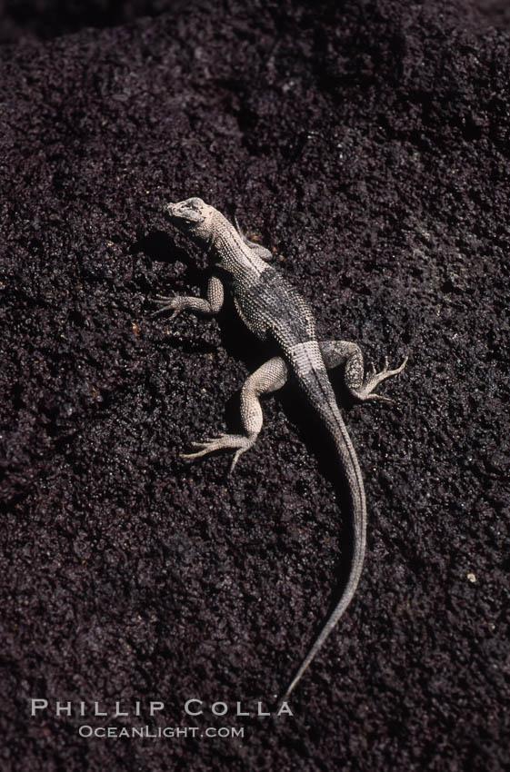 Lava lizard, Punta Espinosa. Fernandina Island, Galapagos Islands, Ecuador, Tropidurus, natural history stock photograph, photo id 01749