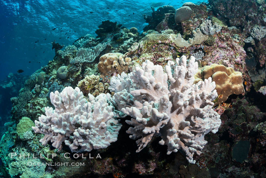 Leather coral, Sinularia sp., Fiji. Vatu I Ra Passage, Bligh Waters, Viti Levu  Island, Sinularia, natural history stock photograph, photo id 31488