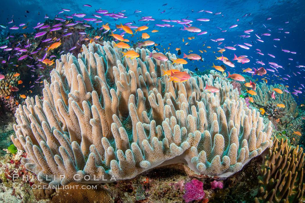 Leather coral, Sinularia sp, Fiji, Sinularia, Vatu I Ra Passage, Bligh Waters, Viti Levu Island