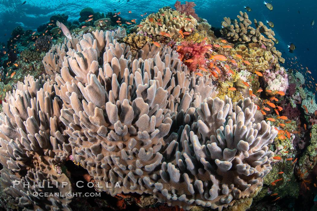 Leather coral, Sinularia sp., Fiji. Vatu I Ra Passage, Bligh Waters, Viti Levu Island, Fiji, Sinularia, natural history stock photograph, photo id 35031